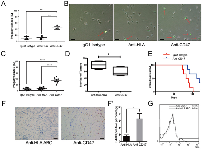 The CD47 monoclonal antibody promotes phagocytosis in vitro, inhibits tumor formation and enhances macrophage infiltration in vivo.