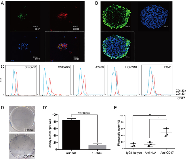 CD47 expression is elevated in the ovarian cancer stem cell-like population.