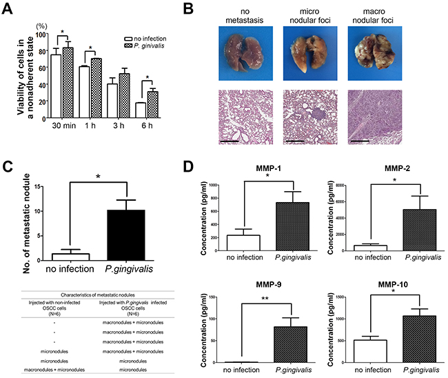 Figure 5. Sustained infection with P. gingivalis increased the pulmonary metastasis of OSCC in vivo.