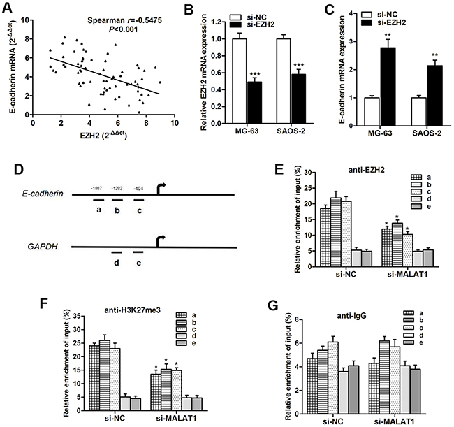 Knockdown of MALAT1 increases E-cadherin expression by associating with EZH2.