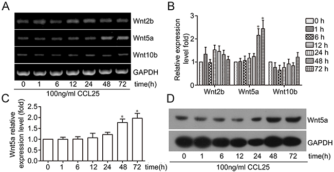 Effect of CCL25/CCR9 on Wnt5a expression in MOLT4 cells.