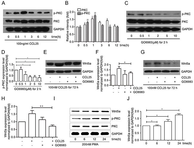 CCL25 promotes Wnt5a expression via PKC upregulation and phosphorylation in MOLT4 cells.