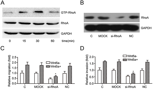 Effects of RhoA on Wnt5a-induced MOLT4 cell migration and invasion.