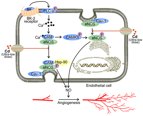 Ultra-low dose of cadmium inhibits angiogenesis by down-regulating eNOS activity.