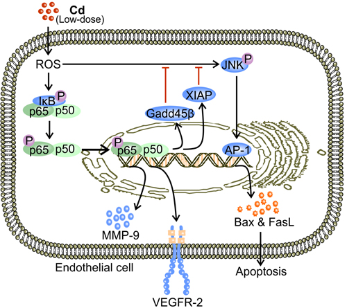 Low-dose Cd activates NF-κB signaling and promotes VEGFR-2 expression while inhibiting JNK-mediated apoptosis in ECs.
