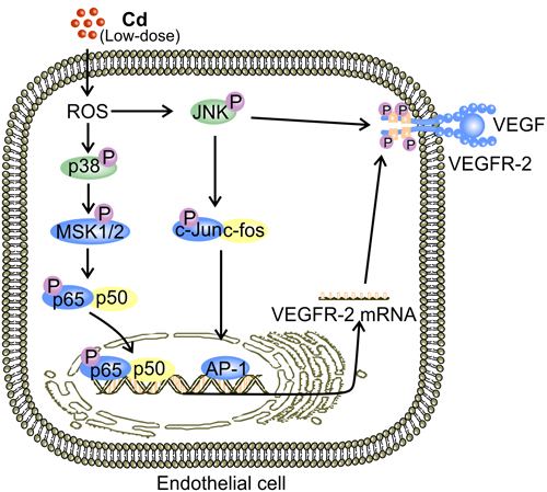Putative mechanisms for low-dose Cd-activated JNK and p38 MAPK to facilitate expression and activation of VEGFR-2 in ECs.