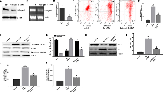 Heat stress activates apoptosis in cathepsin B siRNA-transfectant SW480 Cells.