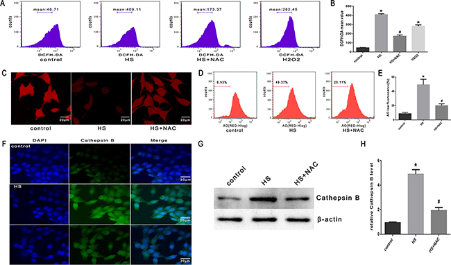 Effect of antioxidant NAC on heat stress-induced lysosomal membrane permeabilization and cathepsin B release in SW480 Cells.