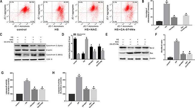 Effect of antioxidant NAC and cathepsin B inhibitor CA-074 Me on the mitochondrial apoptosis pathway in SW480 cells.
