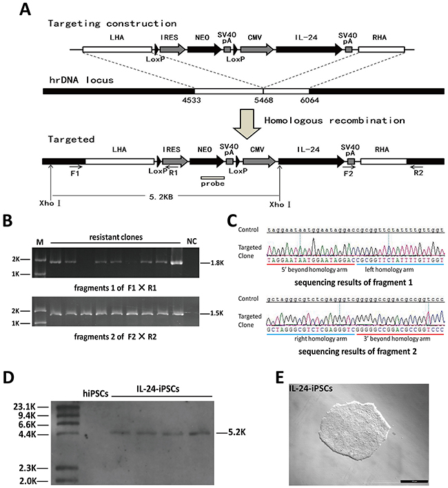Analysis of site-specific integration of pHrn-IL24 at the rDNA locus of iPSCs.