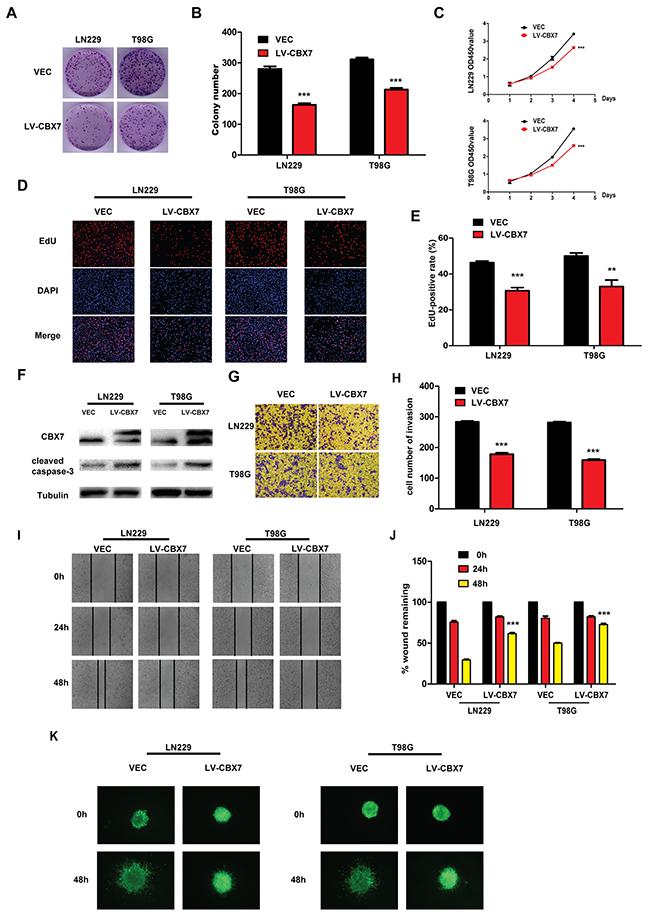 CBX7 depresses the different tumorigenic degree of glioma cells.