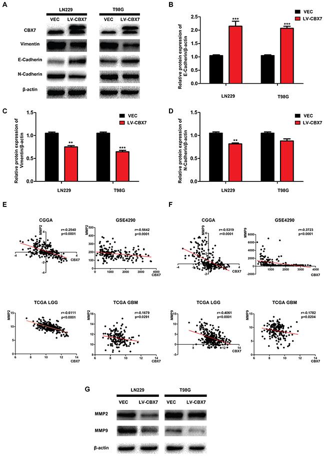 CBX7 overexpression inhibits glioma invasion in protein level.