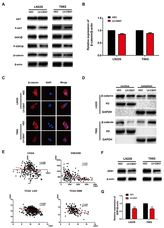 Effect of CBX7 on the activity of the Wnt/β-catenin pathway.