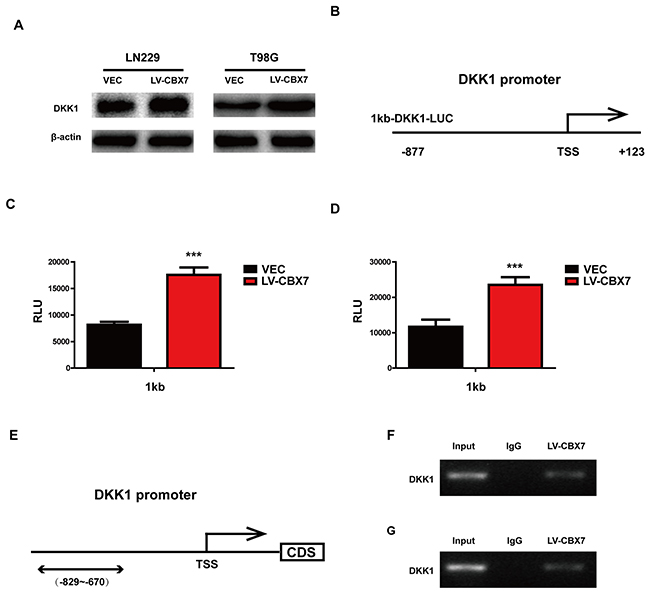 CBX7 enhanced DKK1 expression by binding promoter.