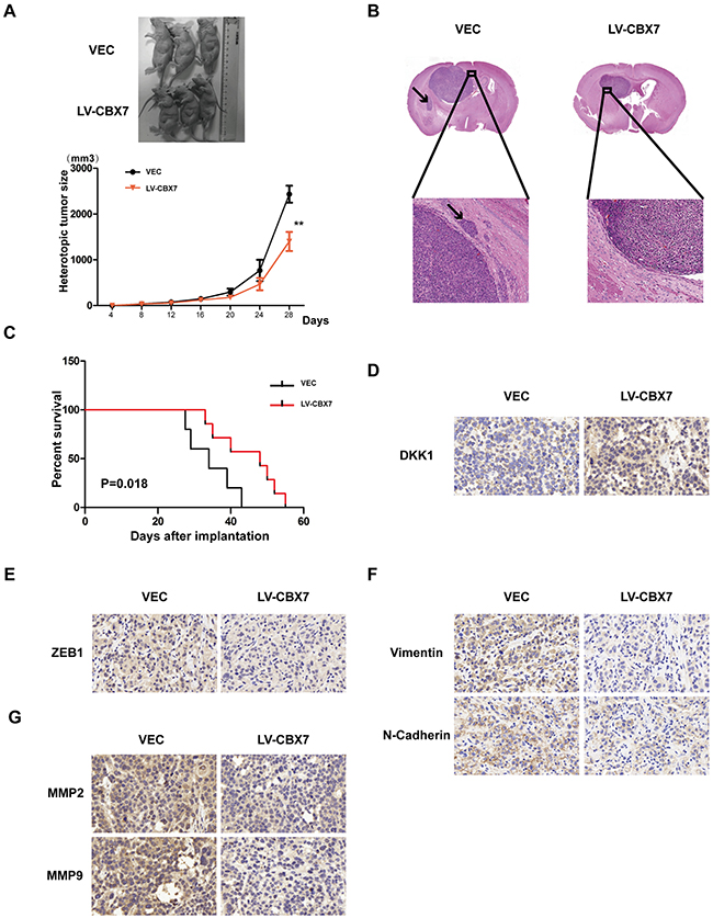 CBX7 function was demonstrated in vivo.