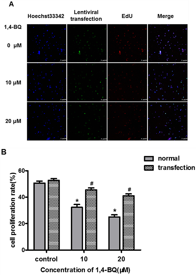 Effect of interfering lncRNA-OBFC2A on cell proliferation induced by 1, 4-BQ.