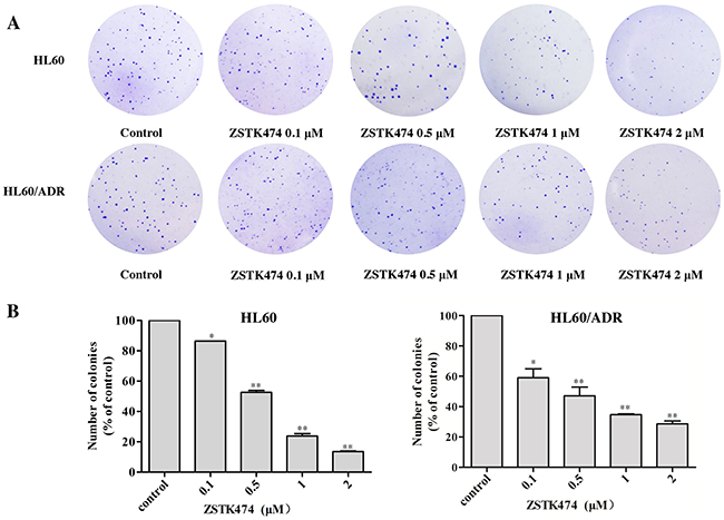 ZSTK474 inhibited colony formation by HL60 and HL60/ADR cells.