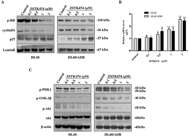 ZSTK474 affected the cell cycle-related molecules.
