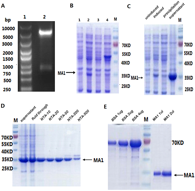 Expression and purification of MA1 in E.coli.