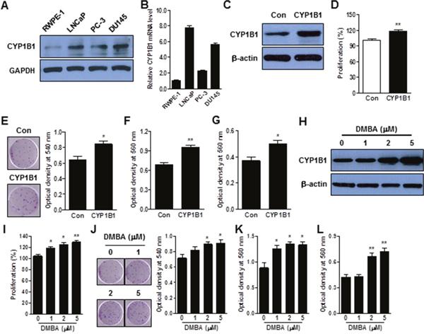 CYP1B1 promotes cellular transformation of RWPE-1 cells.