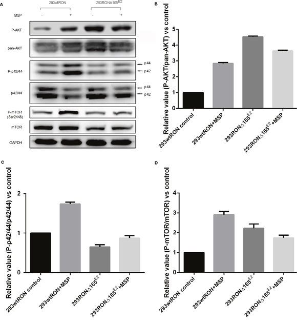 Constitutive activation of the PI3K/Akt pathway in 293 RONΔ165E2 cells.