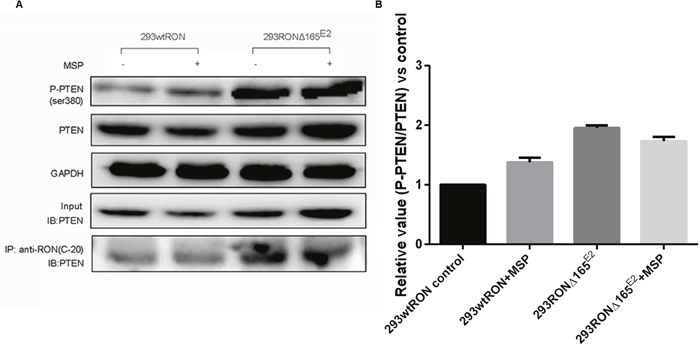 PTEN lipid phophatase activity was decreased in HEK293 RONΔ165E2 cells despite the upregulated PTEN protein expression.