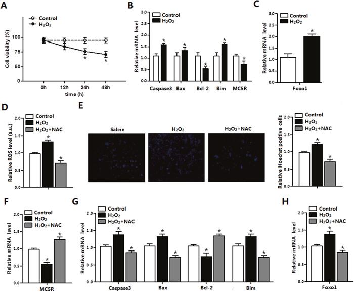ROS triggered apoptosis through causing oxidative stress in adipocytes.