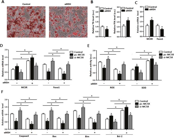 αMSH and MC5R inhibited oxidative stress, apoptosis and Foxo1 expression in mice adipocytes.