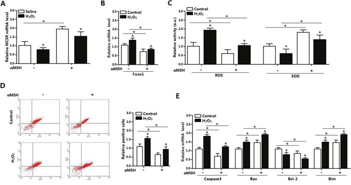 αMSH inhibited ROS-induced apoptosis and reduced Foxo1 expression in mice adipocytes.