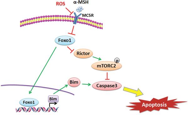 αMSH inhibited apoptosis induced by ROS via Foxo1/mTORC2 signal.