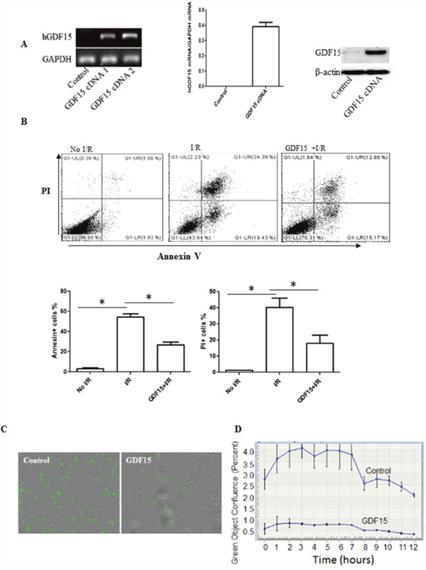 Over-expression of GDF15 prevents cell apoptosis and death induced by I/R in vitro.