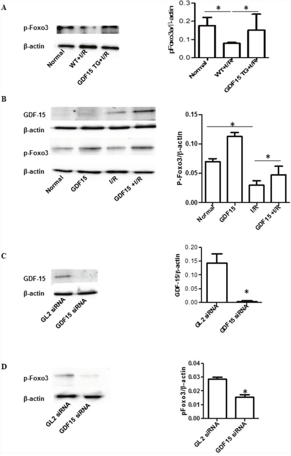 GDF15 increased phosphorylation of Foxo3a.
