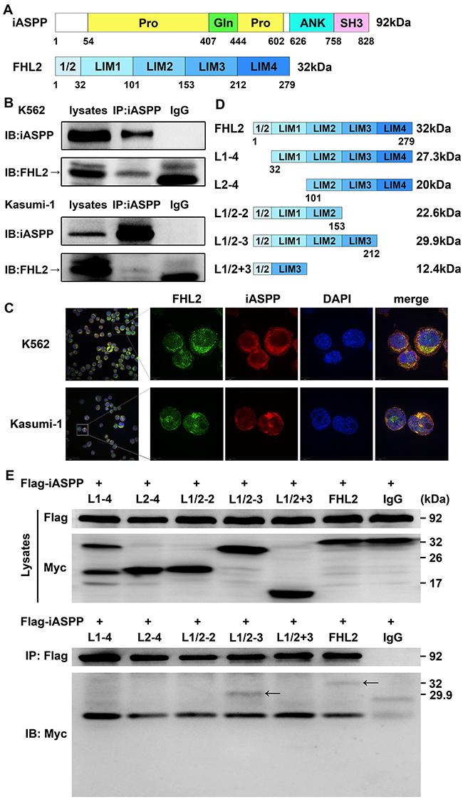 Identification of FHL2 as a novel binding partner of iASPP.