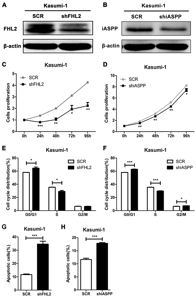 FHL2 or iASPP knockdown in Kasumi-1 cells inhibits cell growth, increases the percentage of cells in G0/G1 phase and cell apoptosis.