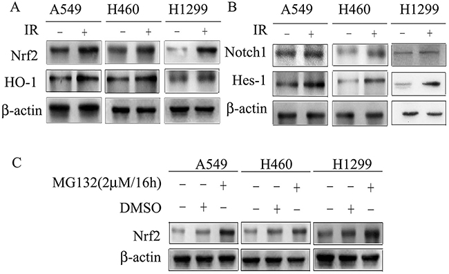 Cell lysates were subjected to Western blotting for the detection of Nrf2, HO-1, Notch1 and Hes-1.