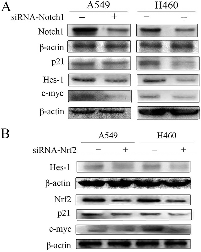Down-regulation of Notch1 and Nrf2 in A549 and H460 cells.