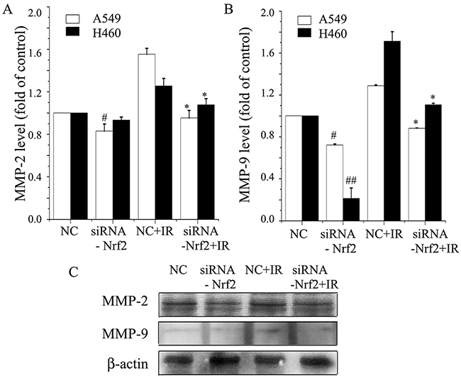 Knockdown of Nrf2 inhibits radiation-induced MMP-2 and MMP-9 expression levels in NSCLC.