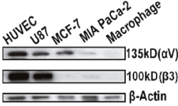 Western Blot analysis of cell expression of integrin αvβ3.