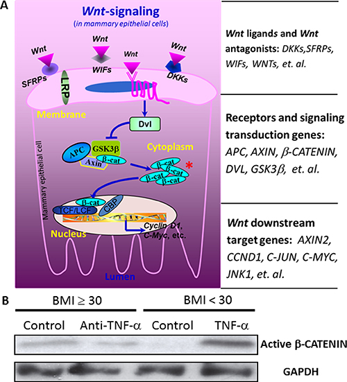 The influences of TNF-α on the expression of Wnt pathway downstream genes.