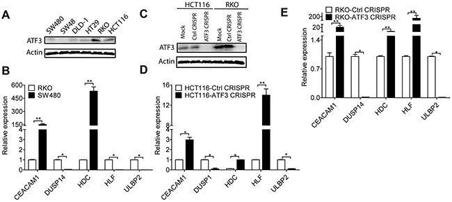 ATF3 regulated target genes.
