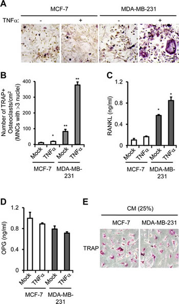 PTX3 derived from breast cancer cell enhances osteoclast differentiation and activation.