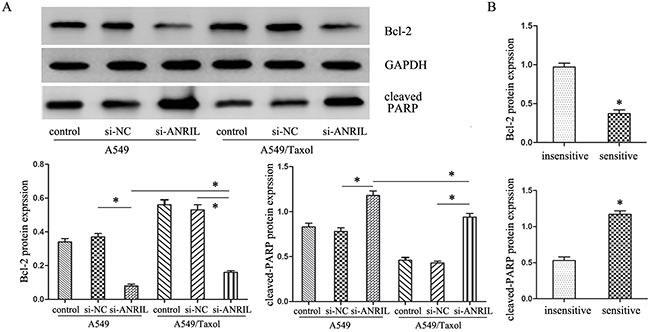 The expression of apoptosis-related protein cleaved-PARP and Bcl-2.