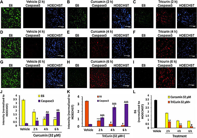 TriCurin is more potent than curcumin in causing suppression of E6 and activation caspase-3 in TC-1 cells.