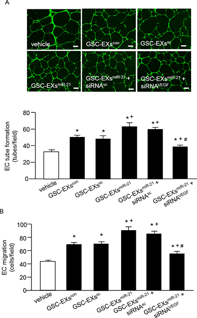 GSC-EXsmiR-21 had better effects than GSC-EXscon and GSC-EXssc on promoting the angiogenic ability of ECs.