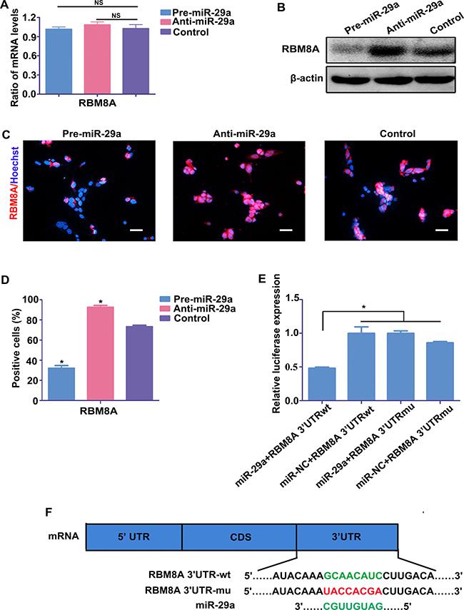 Rbm8a is a target gene of miR-29a in RPCs.