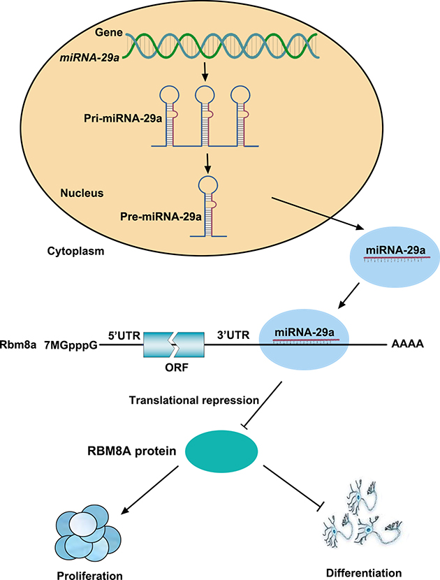 A model of the relationship between miR-29a and RBM8A in regulating RPCs proliferation and differentiation.