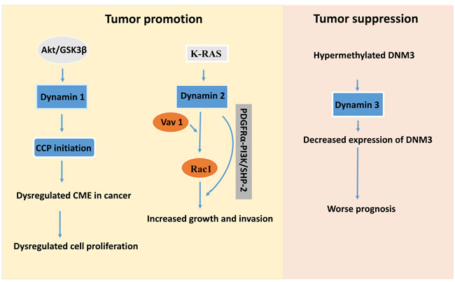 Schematic map for potential targets in dynamin-mediated tumor development whereas dynamin 1 and 2 act as the tumor promotors.