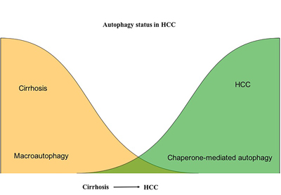 Contribution of macroautophagy and chaperone-mediated autophagy in the malignant transformation and HCC growth in cirrhotic liver.