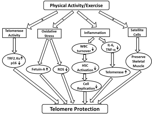 Schematic demonstrating the potential effects of physical activity and exercise on telomere length.