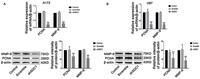 SDC1 knockdown inhibits the expression of PCNA and MMP-9 mRNA and protein.
